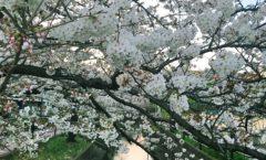 桜花爛漫 Cherryblossoms